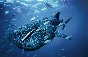 Excursiones con el tiburón ballena
